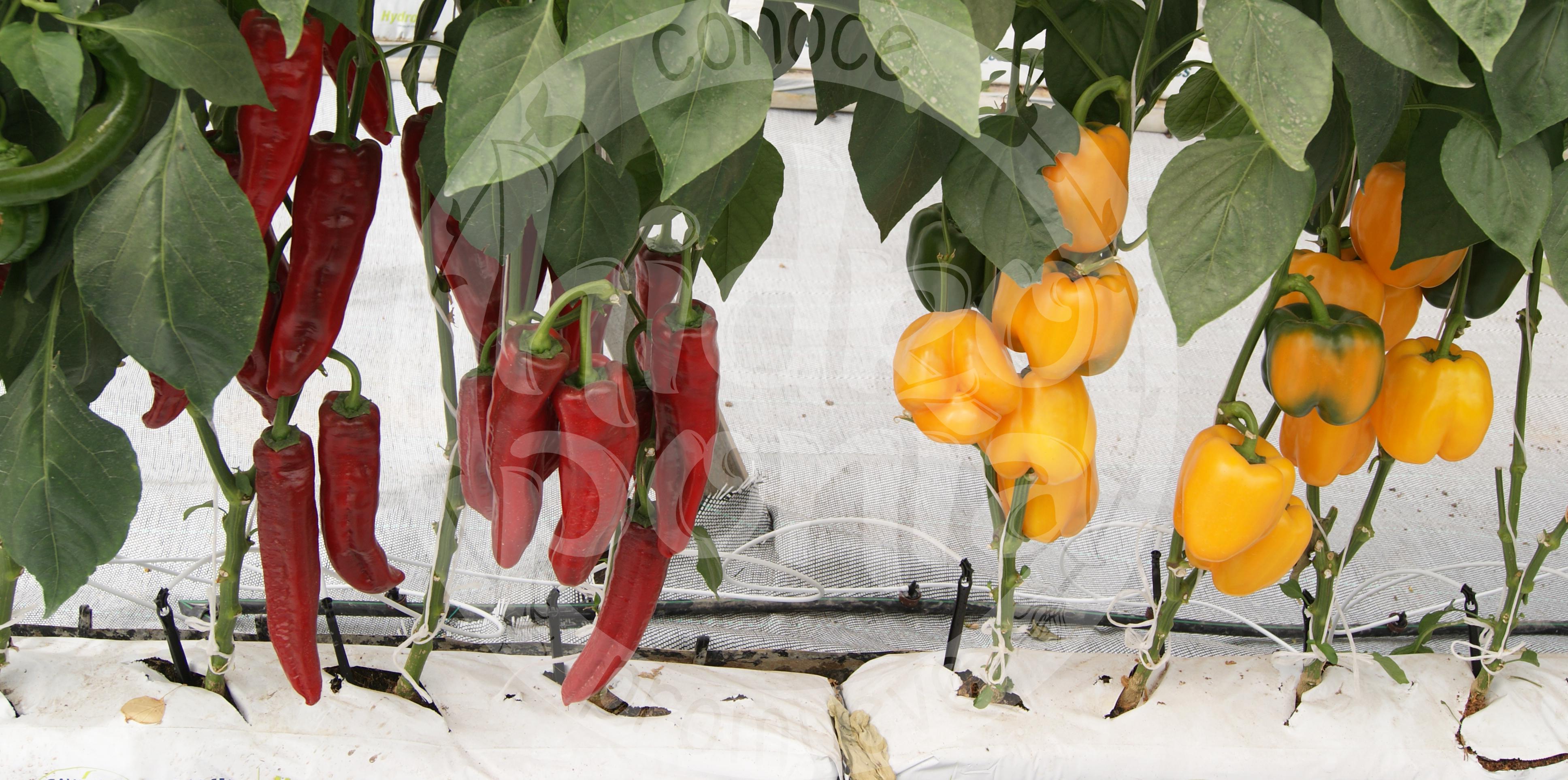 Beneficios nutricionales del jalapeño