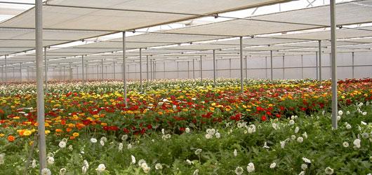 invernaderos-para-cultivo-de-gerberas