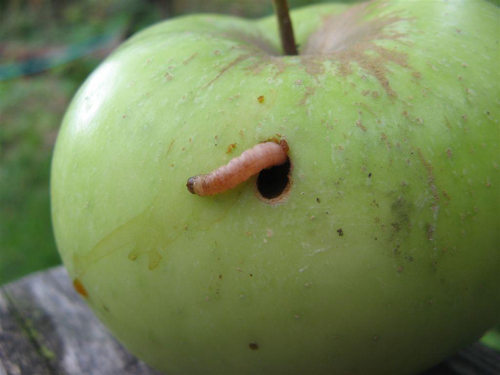 larva de palomilla de la manzana