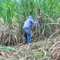 cosecha de caña