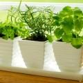 plantas-aromaticas-en-macetas