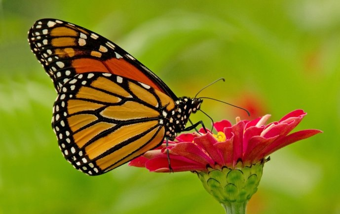 polinización mariposa