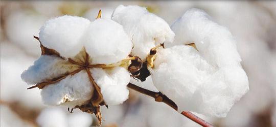 cuÁl es la importancia del cultivo de algodÓn en mÉxico