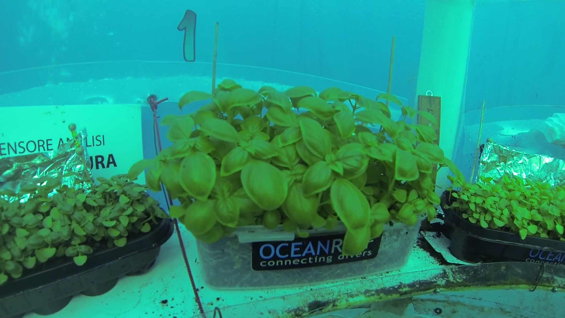 cultivo-submarino