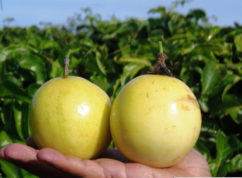 cultivo-de-maracuya