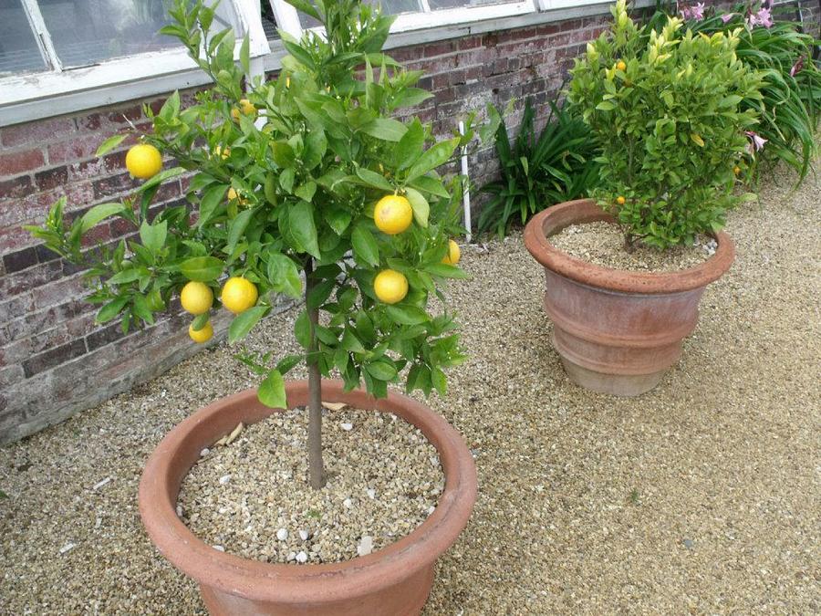 limonero-en-maceta