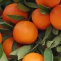 produccion-de-mandarina