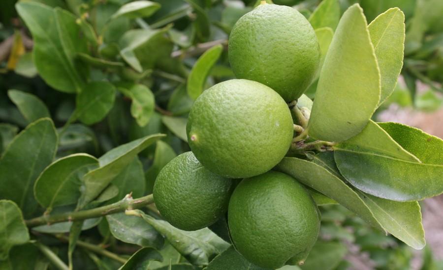 produccion_de_limon