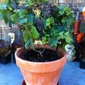 cultivo-de-uva-casero