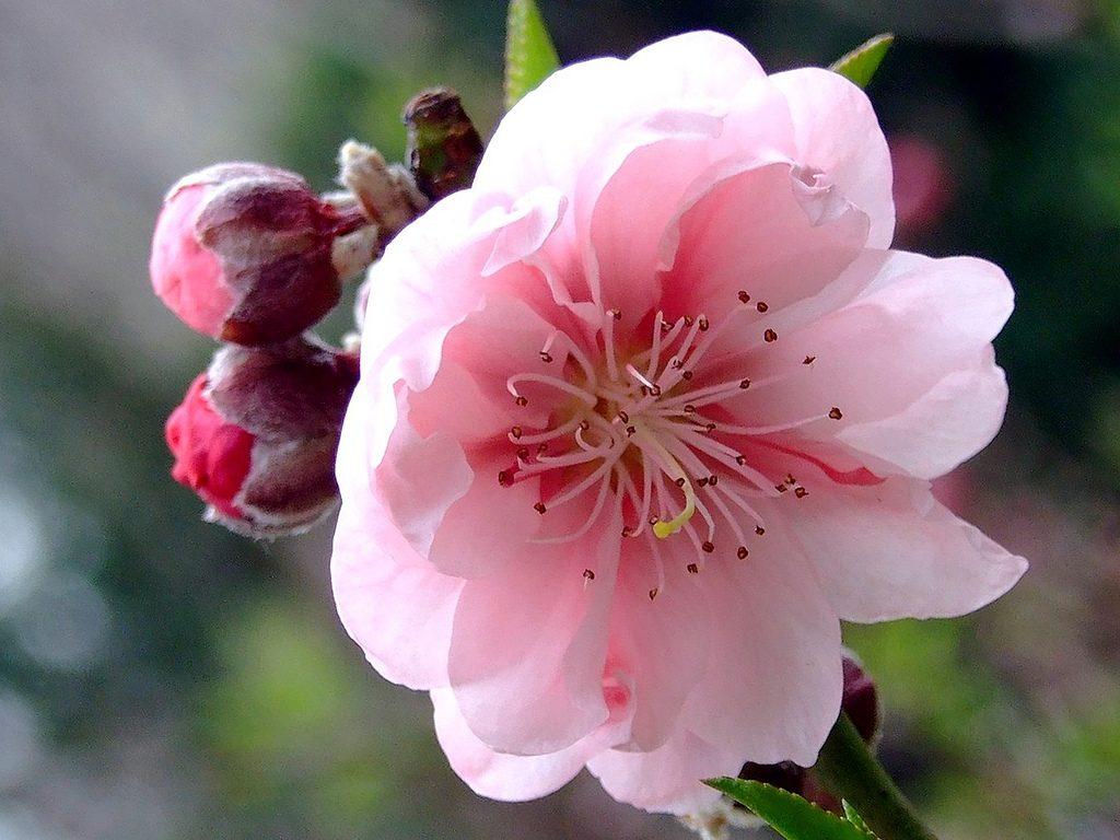 flor-del-durazno