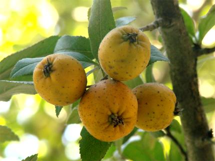 fruto-del-tejocote