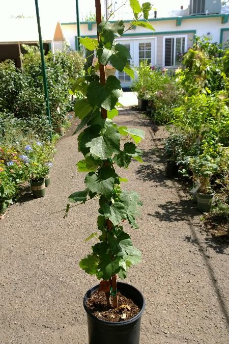 produccion-de-uva