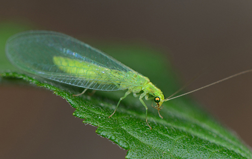 crisopa-verde