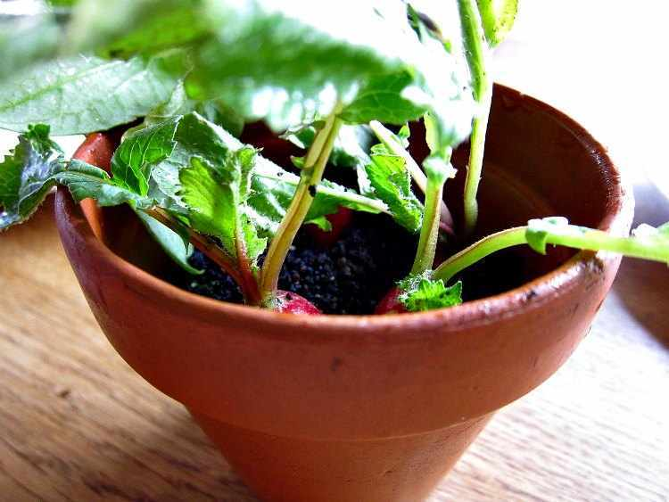 como-plantar-rabanitos-por-hidroponía