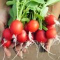 cultivo de rábano