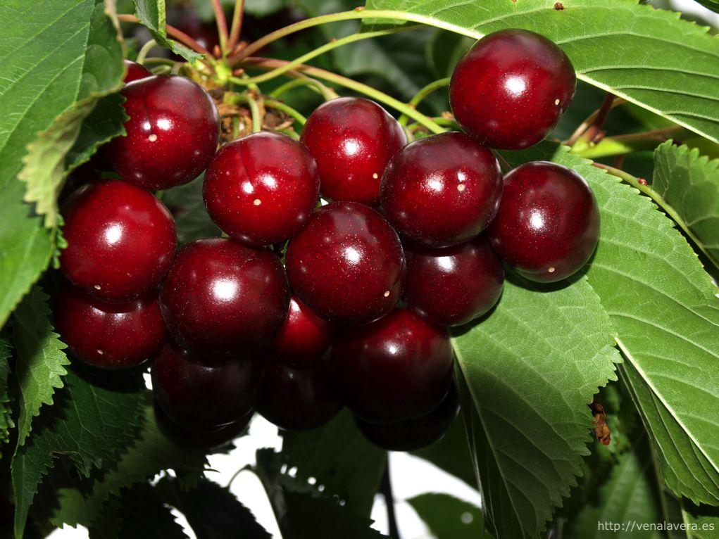 producción de cereza