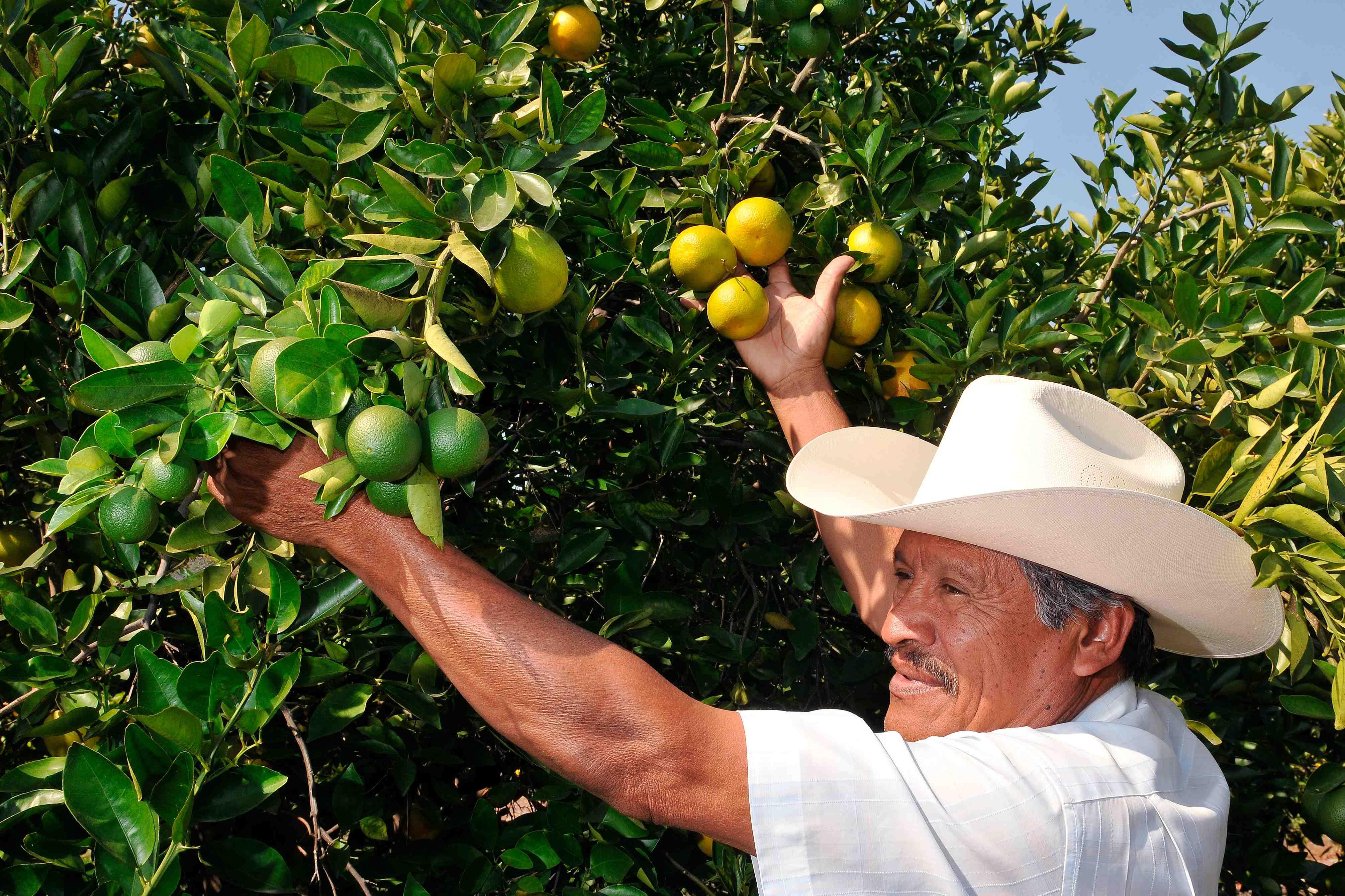 produccion de naranja