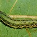 Spodoptera-exigua-oruga