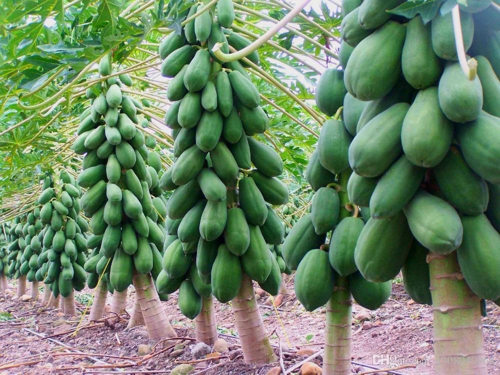 cultivo de papaya en México