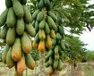 producción de papaya en México