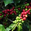 cultivo de café