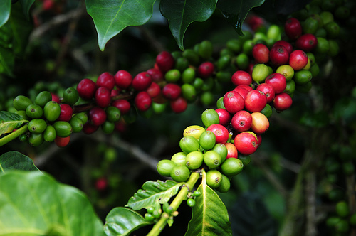 cÓmo se produce la planta de cafÉ por hidroponÍa