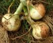 cultivo de cebollas