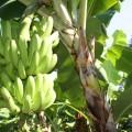 producción de plátano