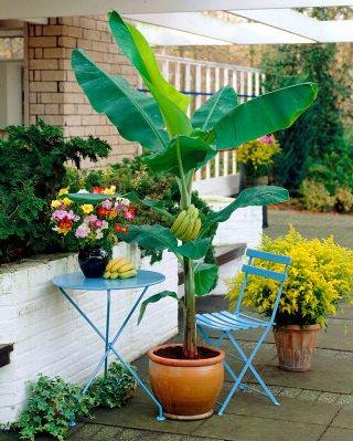 producción de plátano hidropónico