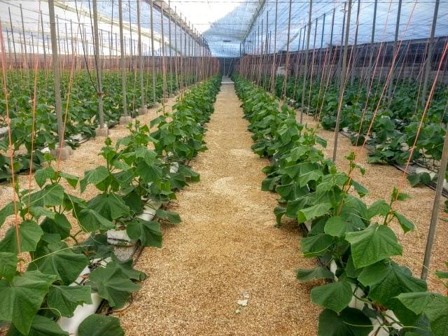 cultivo de pepino en invernadero
