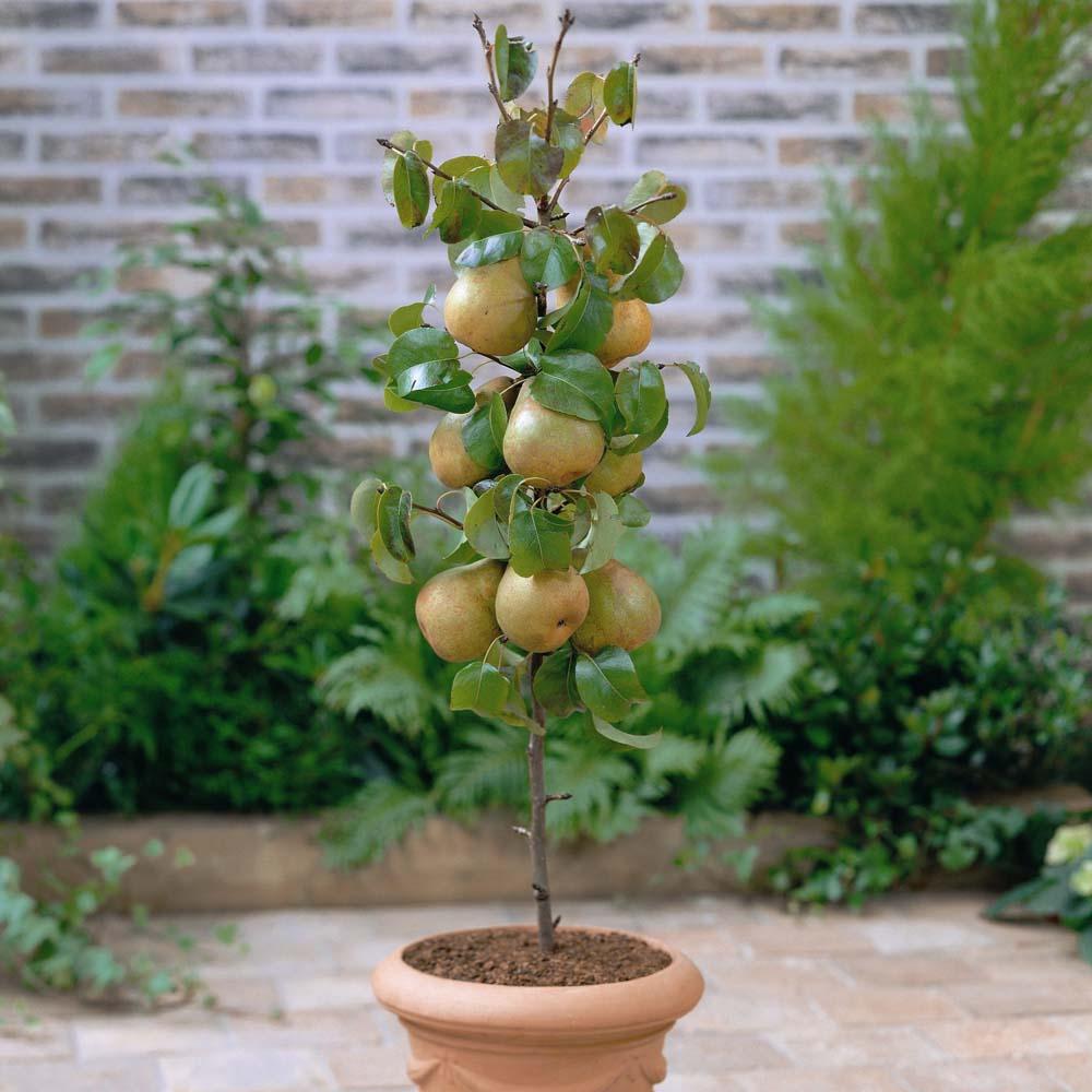 cultivo de pera