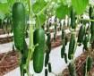 producción de pepino en invernadero