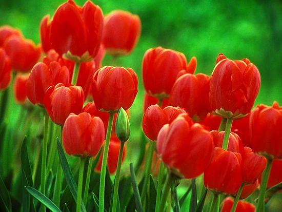 cultivo-de-tulipanes