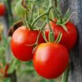producción de tomate