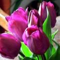 producción de tulipanes