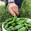 producción de chile