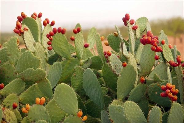producción de nopal en México