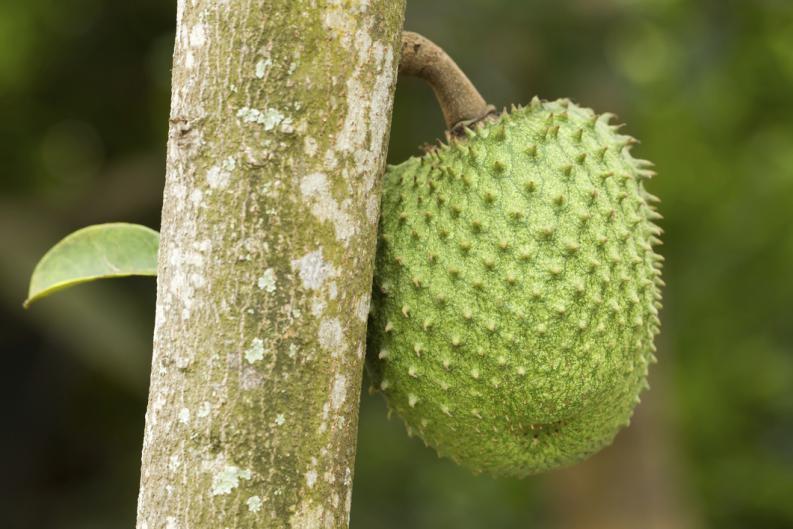 cultivo-de-la-guanabana