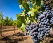 cultivo-de-uva