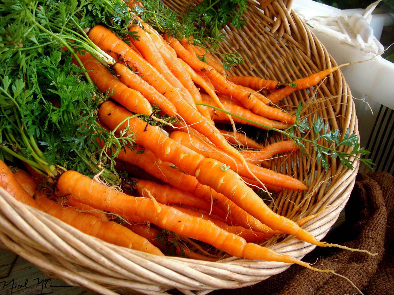 cultivo de zanahoria en México