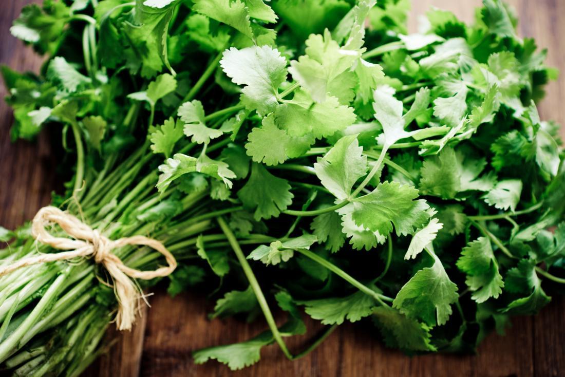 cilantro-cultivo