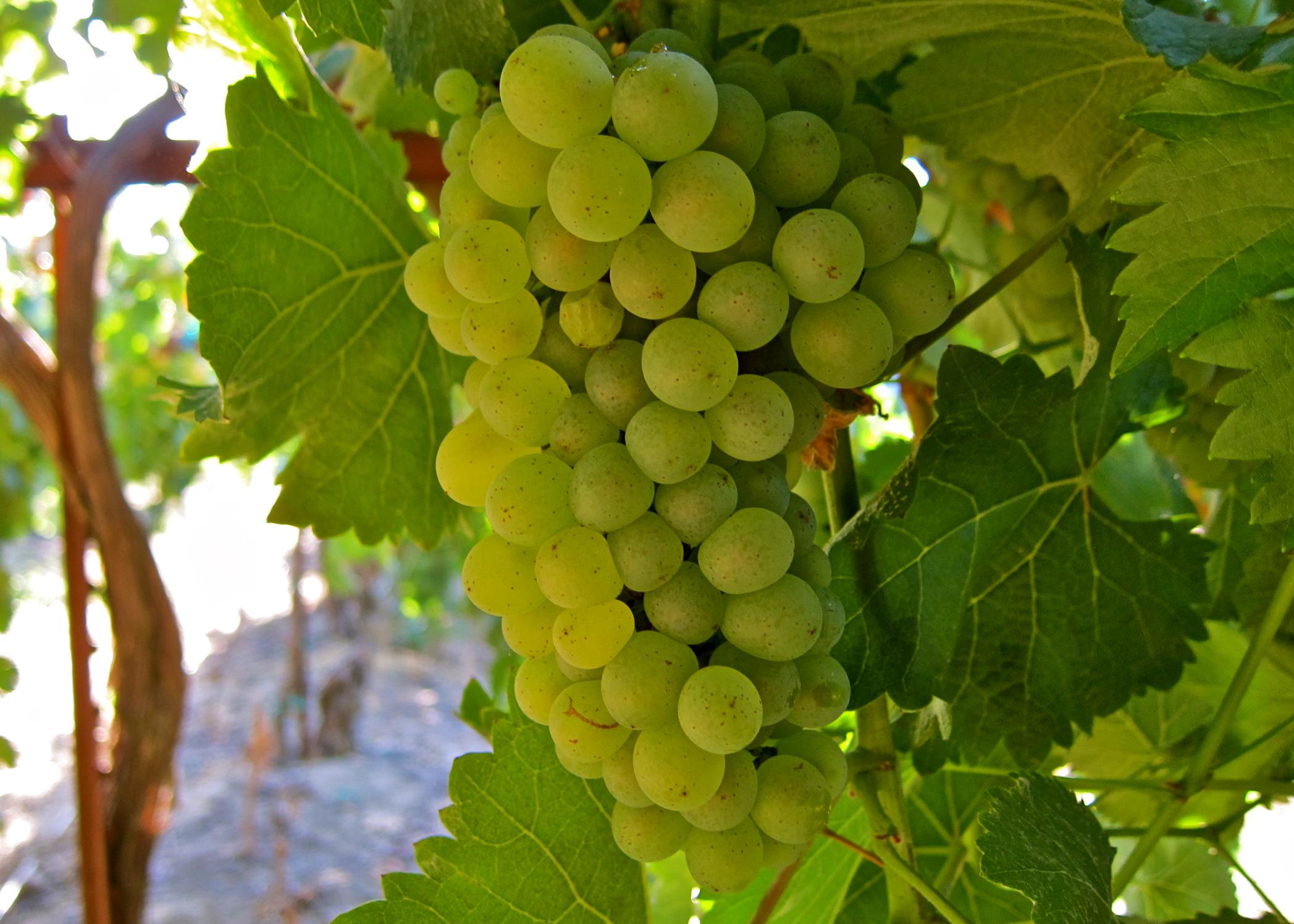 uvas-Chenin-Blanc
