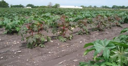 3662-Cultivo-de-higuerilla-ricino-tartago