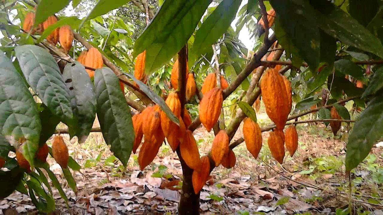2 Arbol Cacao