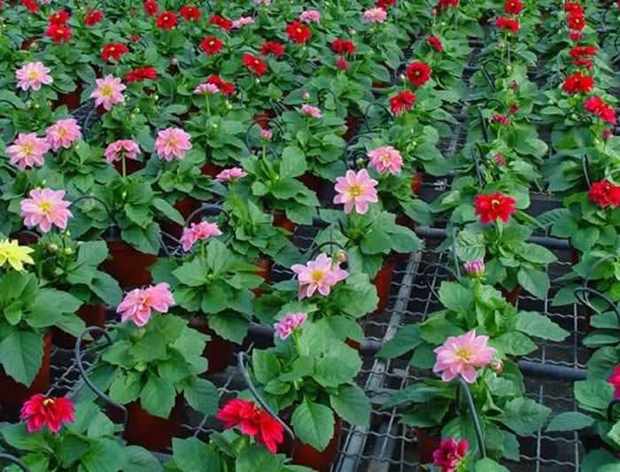 flores-de-dahlias-dalias-11